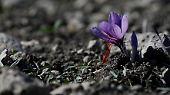 Safran wird aus der Pflanze Crocus Sativus gewonnen.