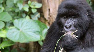 Wieder mehr Berggorillas: Rote Liste des Artensterbens wächst trotz einzelner Erfolge weiter