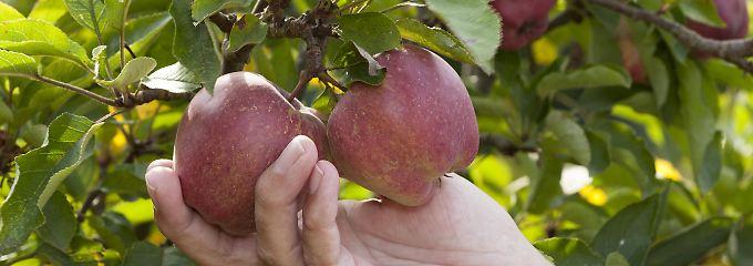 Mehr Blüten, mehr Bestäuber: Apfelplantagen profitieren von Artenreichtum