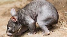 Es liegt auch an den Augen: 23.00 Uhr: Weshalb macht der Wombat Klötzchen?