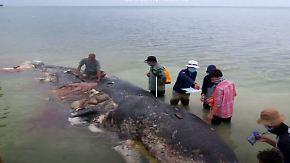 Becher, Schuhe, Tüten: Wal strandet mit sechs Kilo Plastikmüll im Bauch