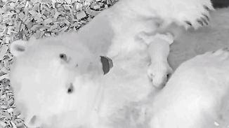 Sorge um putzigen Nachwuchs in Berlin: Tierpark veröffentlich erstes Video von neuem Eisbären-Baby