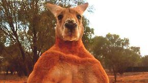 Trauer um tierischen Kraftprotz: Riesenkänguru Roger stirbt an Altersschwäche