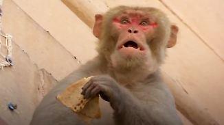 """""""Sie reißen einem das Handy aus der Hand"""": Hunderttausende Affen machen Neu-Delhi unsicher"""