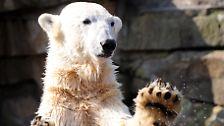 Bildrgalerie: Der berühmteste Eisbär der Welt