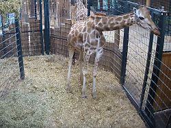 Totes Fohlen bei Livegeburt: Zoo Magdeburg verliert auch Giraffenmutter