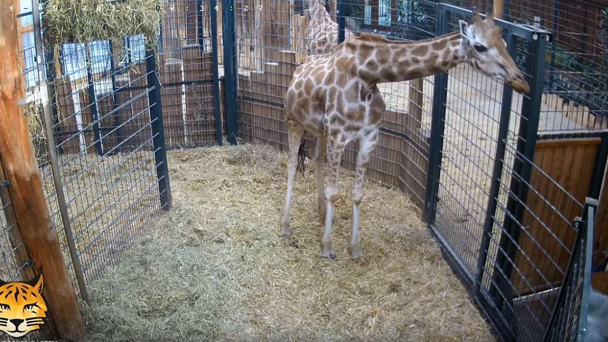 Zoo Magdeburg verliert auch Giraffenmutter
