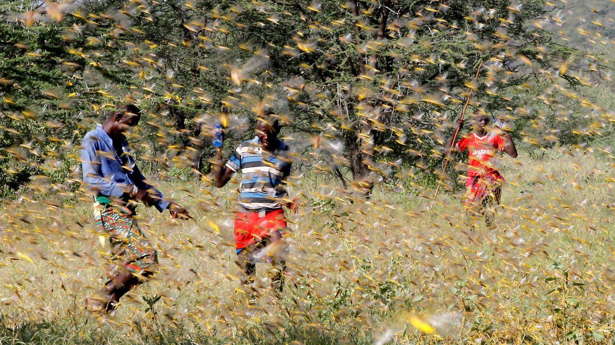 Heuschreckenplage zerstört Ostafrikas Felder