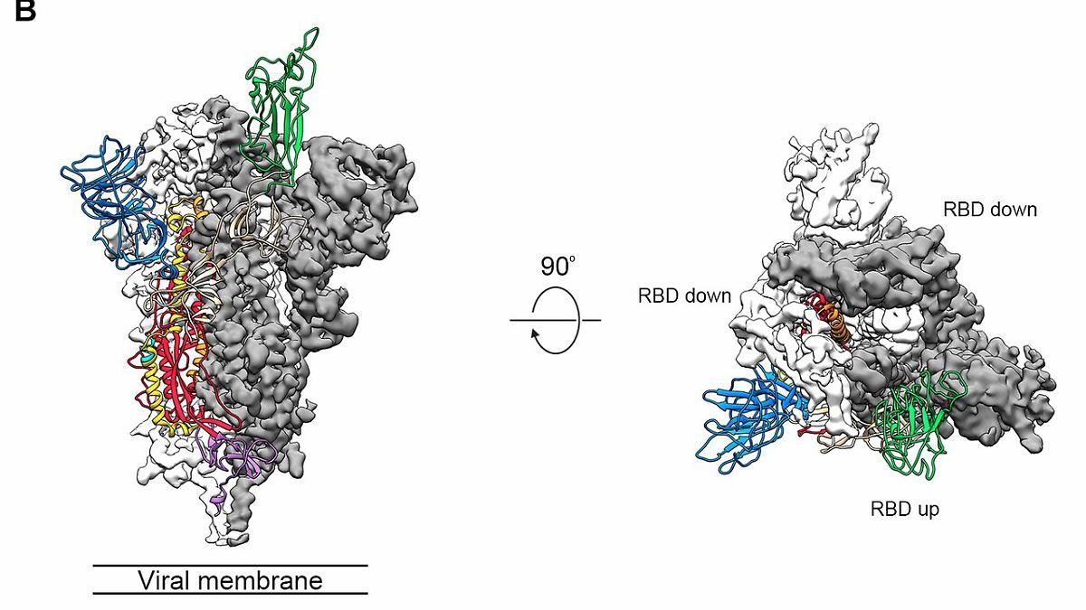 Andockstelle von Coronavirus analysiert