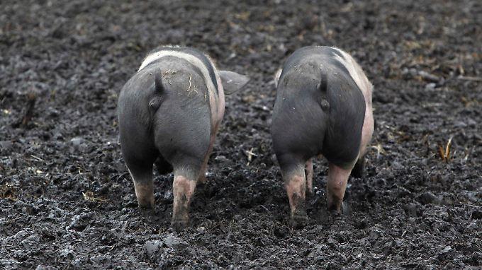 Wir wenden uns mit Grausen! Diese Schweine aus einer Öko-Farm bei München werden artgerecht gehalten und gefüttert.
