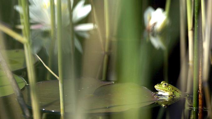 Der Wasserfrosch: Kryo-Konservierung in der Natur.