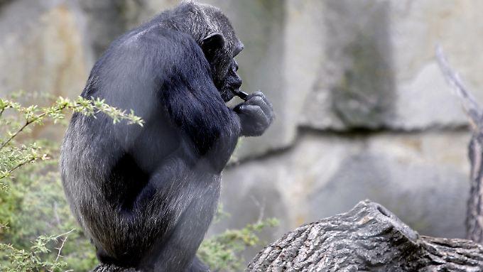 Ein Schimpanse im Zoo.