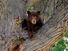Ein junger Schwarzbär in den USA.