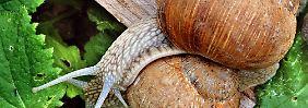 Die große Weinbergschnecke steht unter Naturschutz. Sie frisst die Eier von Nacktschnecken.