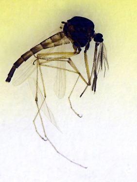 Männliche Stechmücke aus der Gattung Culex.