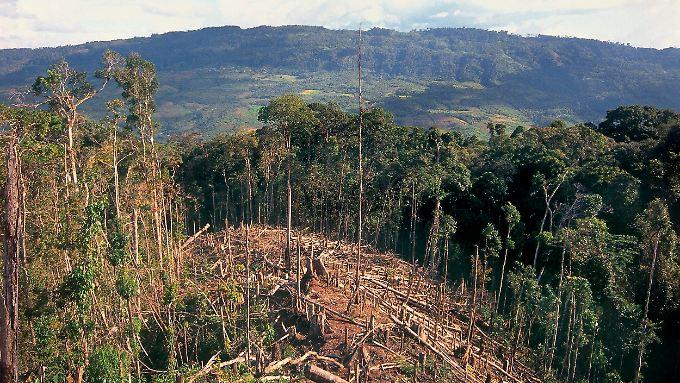 Die Zerstörung des Regenwaldes schreitet in Peru mit schnellen Schritten voran.