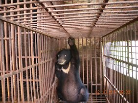Tierquälerei: Ein Kragenbär hockt in einer Farm in Hanoi in seinem engen Käfig.