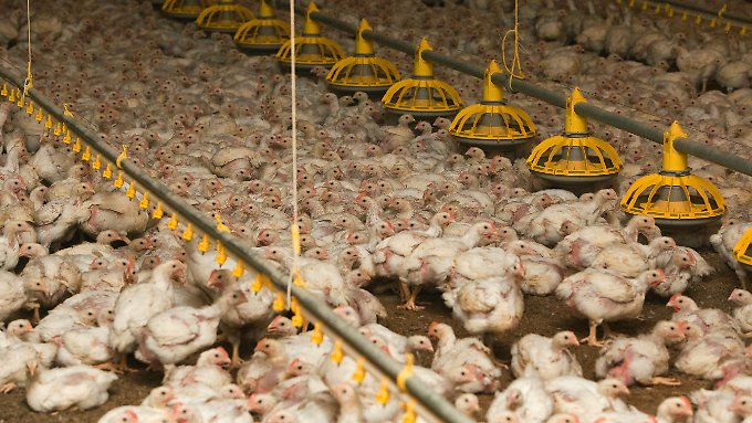 Tausende Hühner in einem Stall eines Geflügelmastbetriebes im brandenburgischen Storkow (Archivbild).
