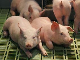 Stroh lernen die Tiere in der Massenhaltung nicht mehr kennen.
