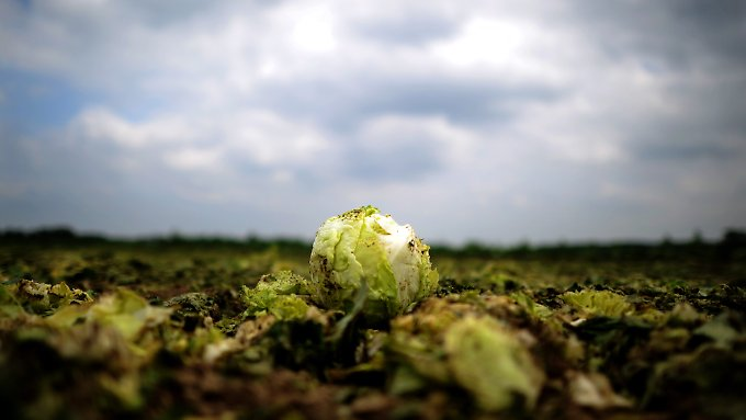Geschredderter Salat: Die Epidemie erwischt die Landwirtschaft eiskalt.