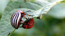 Schutz vor Insektenfraß: Käfer bevorzugen glatte Blätter
