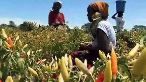 Ökoabwehr in Sambia: Chilistinkbomben verjagen Elefanten