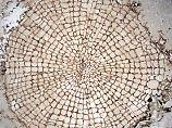 Ein Querschnitt durch das 407 Millionen Jahre alte Fossil zeigt die für Holz typischen Strahlen-Zellen.