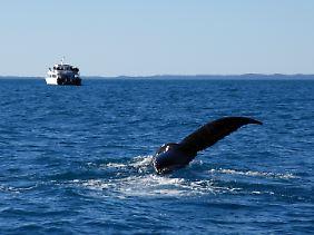 Buckelwale lassen sich an der Fraser Coast von Mitte Juli bis Ende Oktober beobachten.