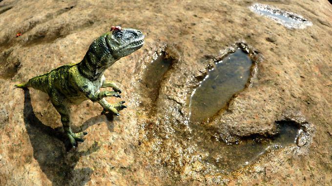 Das Modell eines Allosaurus' neben einer Original-Fußspur der Riesenechse.