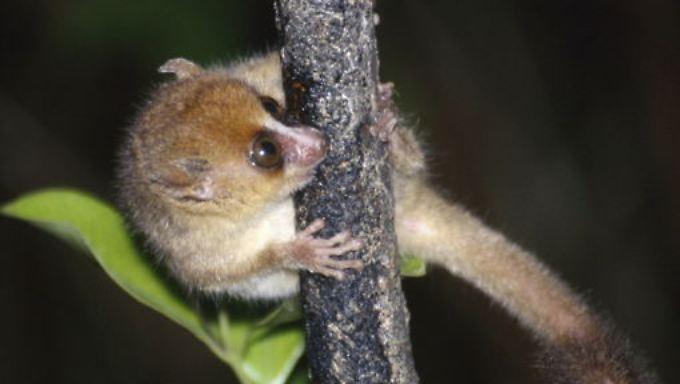 Mausmakis gehören zu der Gruppe der Lemuren.
