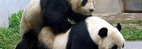 Die neuen Erkenntnisse sollen bei der Vermehrung der Pandas in Gefangenschaft helfen.