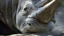 Riesig, bewaffnet und trotzdem bedroht: Nashörner