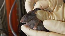 Mäuse und Ratten werden in 95 Prozent aller Tierversuche eingesetzt.