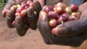 Klimawandel am Kilimandscharo: Kaffeebauern kämpfen um die Ernte