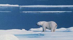 Der Eisbär hat das Potenzial, sich anzupassen. Unter Umständen kann er sich auf die Jagd an Land einstellen.