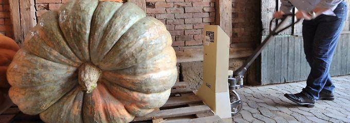 Das Prachtstück misst 3,60 Meter im Umfang und ist fast 376 Kilogramm schwer.