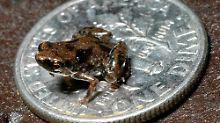 Ein Paedophryne amauensis, zum Größenvergleich auf einer US-Dime-Münze.