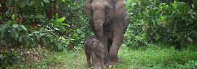 Ein Sumatra-Elefantenkalb und seine Mutter im Tesso Nilo National Park bei Riau in Indonesien.