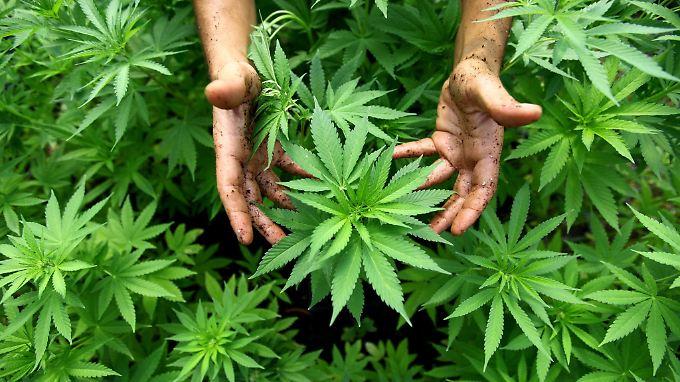 Schuldenabbau durch Cannabis-Anbau