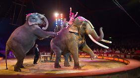 Zirkuselefanten haben es nicht immer gut.