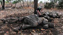 Tausende Elefanten fallen jedes Jahr Wilderern auf ihrer Suche nach Elfenbein zum Opfer. In Chinaist die Nachfrage nach Elfenbein weltweit am größten.