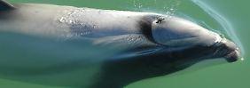Nur noch 55 Exemplare: Maui-Delfine sterben aus