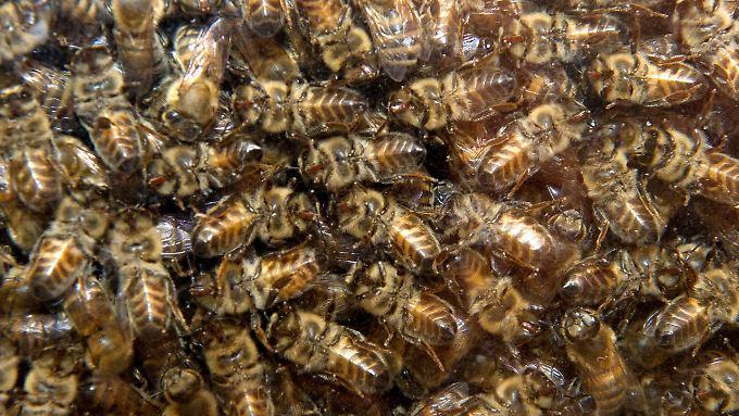 In einem Bienenstock herrscht reges Treiben.