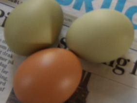 Ganz schön bunt: zwei Eier von sogenannten Grünlegern.