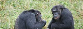 Zwei Schimpansen beim Fressen.