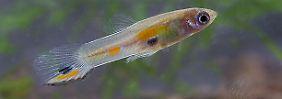 Guppy-Weibchen (unten) bestaunen ein orangegeflecktes Männchen.