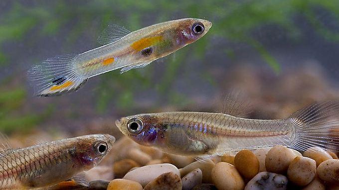 Guppys in einem Aquarium. Die weiblichen Tiere sind bereits im dritten Lebensmonat geschlechtsreif und sind lebendgebärend.