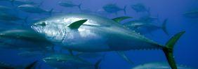 In Thunfischen vor der US-Küste sind radioaktive Stoffe nachgewiesen worden.