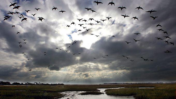 In ihren entlegenen Überwinterungsquartieren können die Vögel den Frühlingsbeginn nicht vorhersehen.