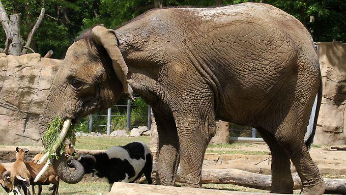Die afrikanische Elefantendame Sara in ihrem Gehege im Rostocker Zoo.